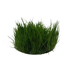Waterplant Easy Grow Eleocharis Acicularis (nr 2)