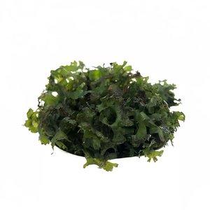 Waterplant Monosolenium (pelia) in bakje