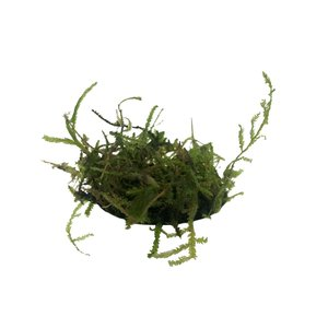 Waterplant Christmas Moss in bakje