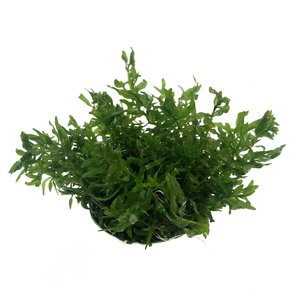Waterplant Easy grow Didiplis Diandra (nr 1)