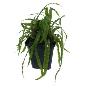 Waterplant Cryptocoryne Balansae - Extra Groot