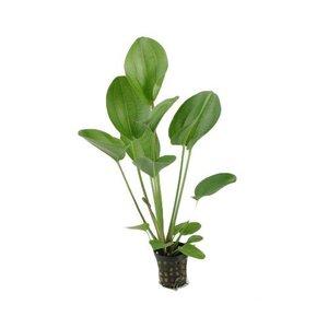 Waterplant Echinodorus Harbii Rosa