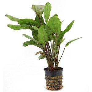 Waterplant Echinodorus Chrileni