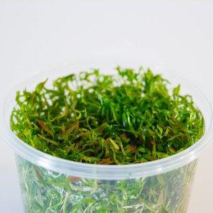 Waterplant Easy grow Ludwiga Arcuata (nr 6)