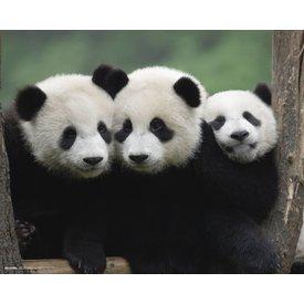 Panda's - Mini Poster
