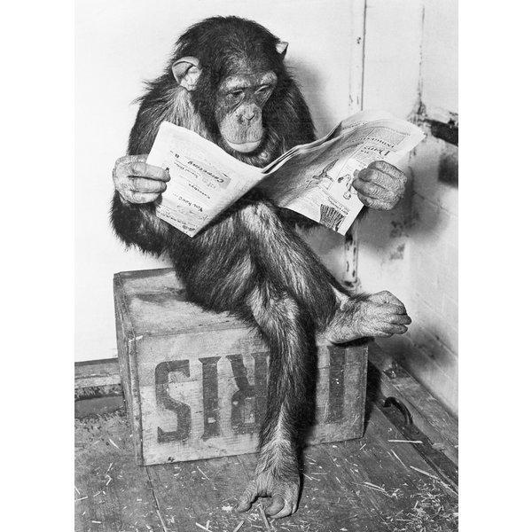 Chimpanzee Reading Newspaper - Maxi Poster