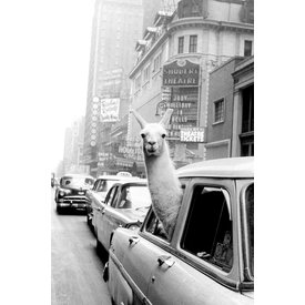 A Llama in Times Square - Maxi Poster
