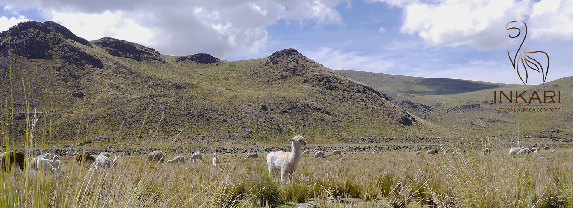 baby alpaca in peruvian Andes - by Inkari