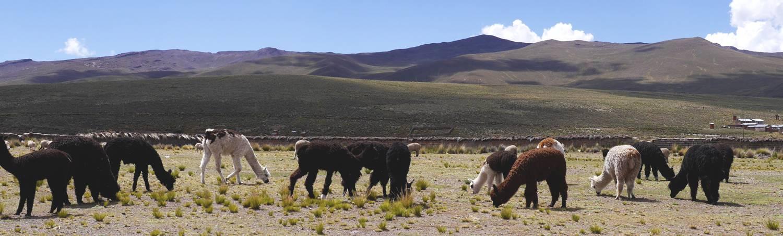Alpacawol: Het echte goud uit de Andes van Peru.