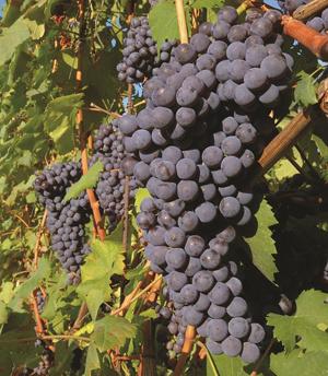 nebbiolo druiven