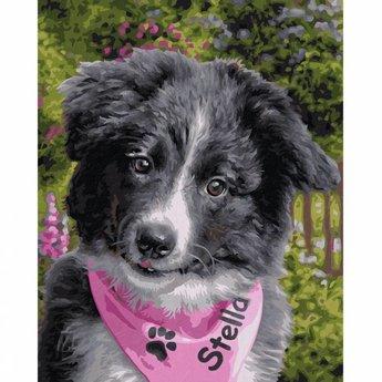 Schipper Border Collie Puppy