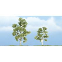 Premiumbäume Sycamore