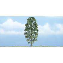 Premiumbäume Basswood (Amerik. Linde)
