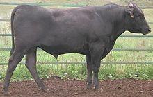 F1 Wagyu BMS 6/7  Picanha  74.99€/kg  + 330 dagen graangevoederd