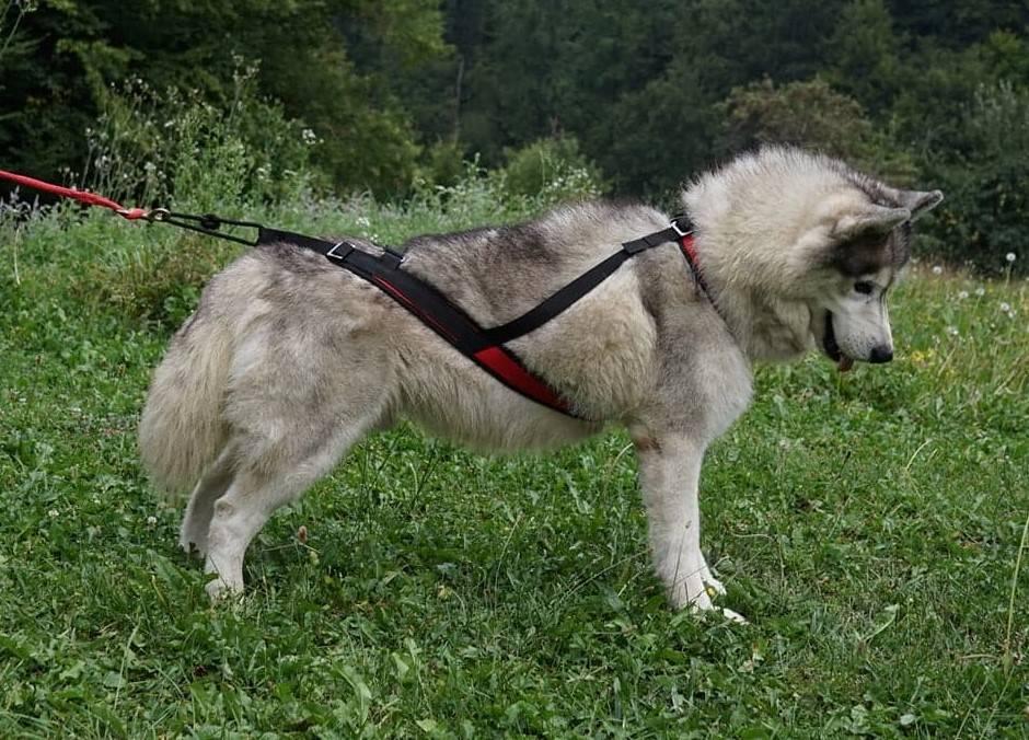 Northern Howl Sport harnais de chien réglable - noir