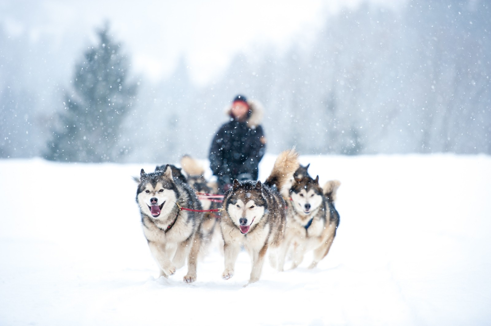 X-Back harnais pour chien pour le vélo, ski-joering, scooter, traîneau - en noir avec un rembourrage bleu clair - Copy