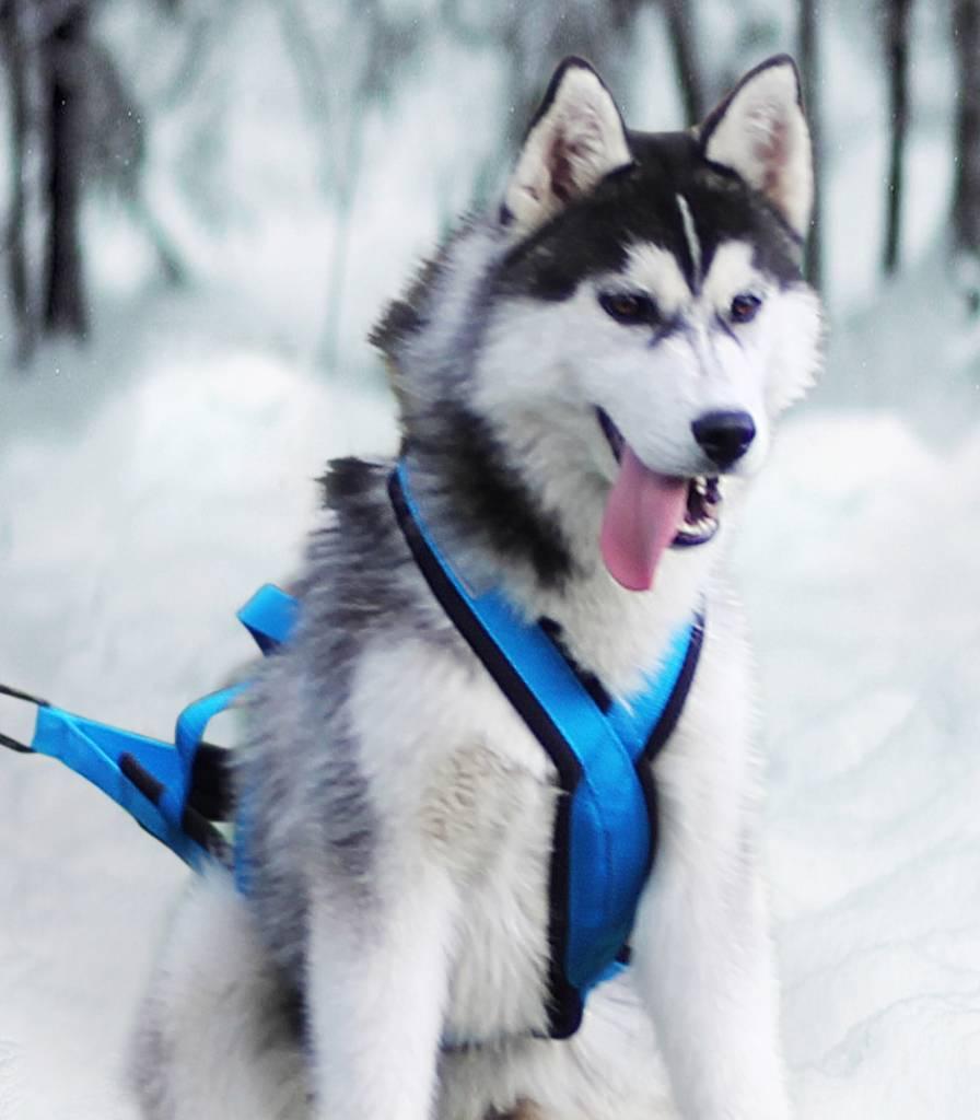 Northern Howl X-Back harnais pour chien pour le vélo, ski-joering, scooter, traîneau, Color bleu - Copy