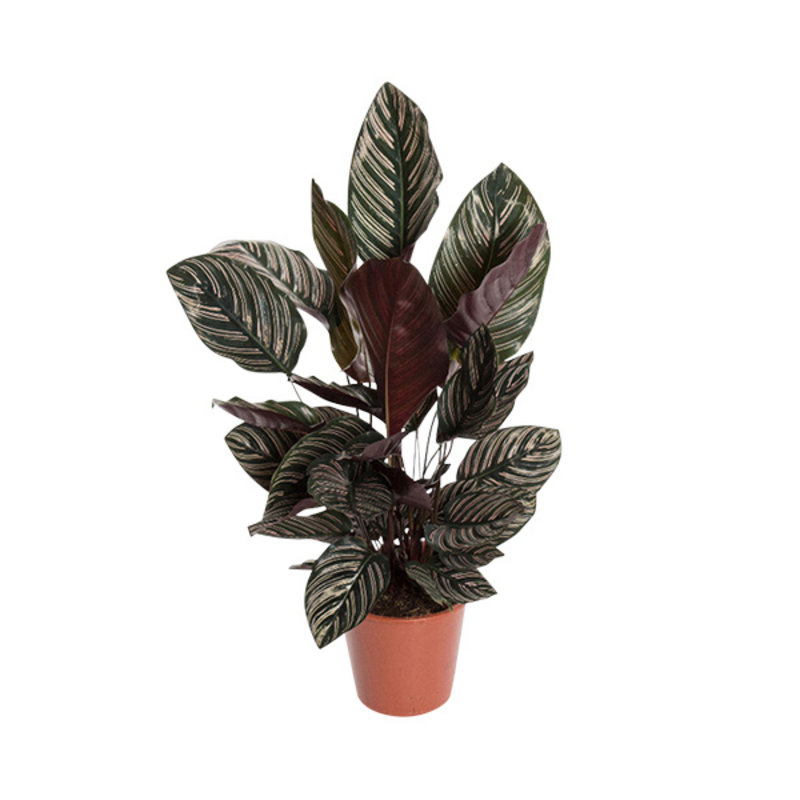 We love plants-collectie Calathea 19cm ornata