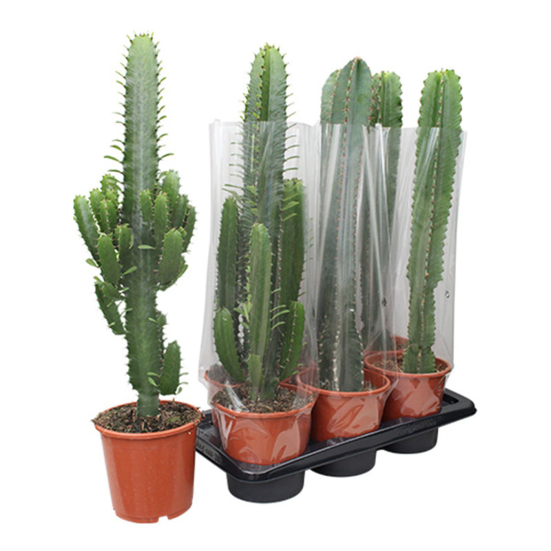 We love plants-collectie Cactus Euphorbia Acruensis