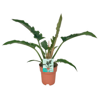We love plants Philodendron Narrow