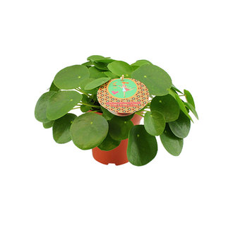 We love plants Pilea peperomioides