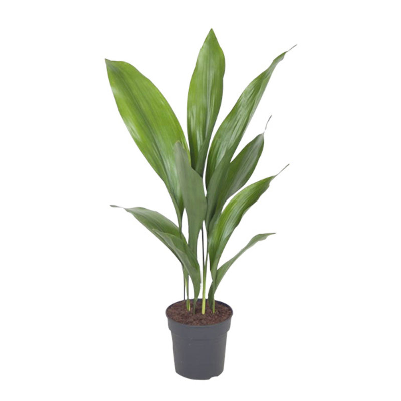 We love plants-collectie Aspidistra elatior p13