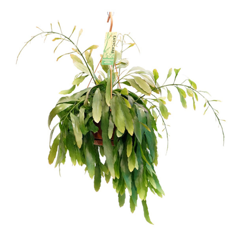 "We love plants-collectie Plant Pseudorhipsalis ramulosa ""Red Coral"""