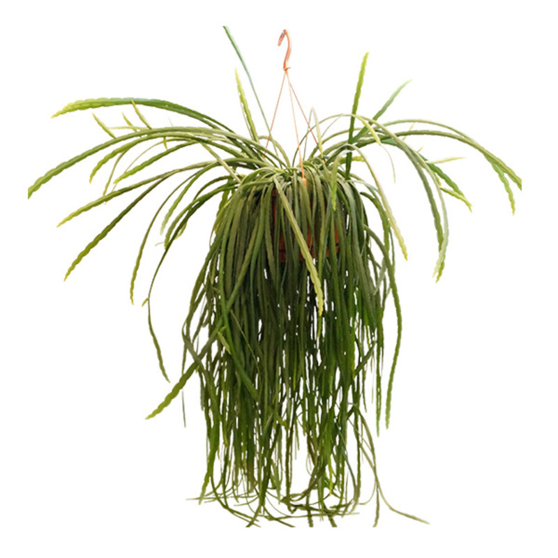 We love plants-collectie Lepismium Bolivianum XL hanging