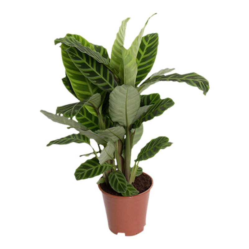 We love plants-collectie Calathea 19cm zebrina