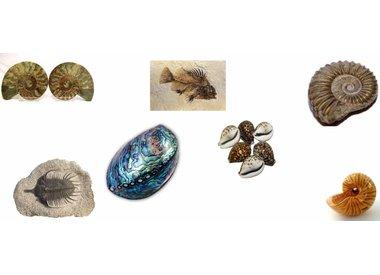 Fossielen & Schelpen