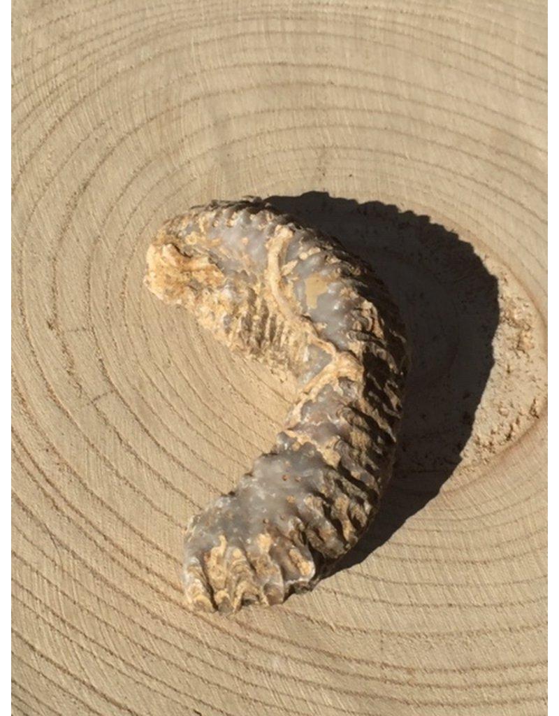 rastellum fossiel