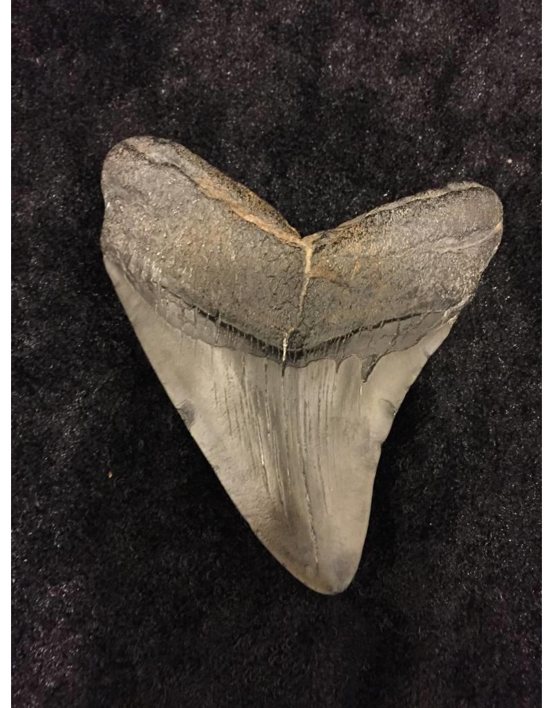Carcharocles Megaladon fossiele haaientand