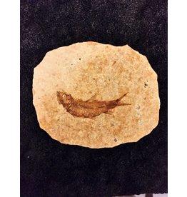 Knightia vis fossiel