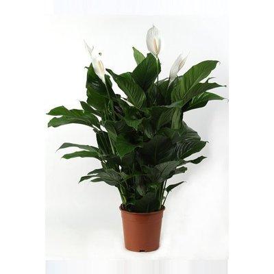 MijnDuurzaamRendement Spathiphyllum Lauretta (lepelplant)