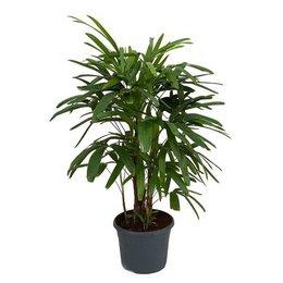 MijnDuurzaamRendement Palm Rhapis Excelsa (Stokpalm)