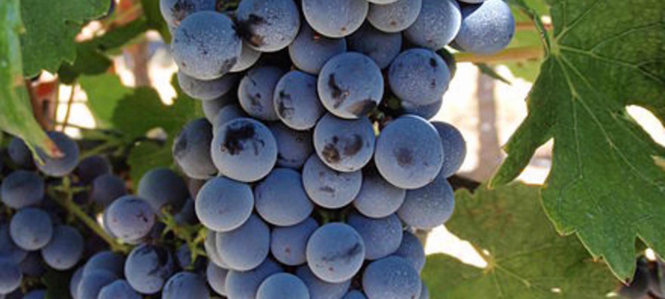 Nieuwe en oude druivensoorten
