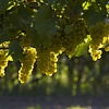 Tijd voor de druivenoogst