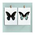 Liljebergs Liljebergs Papilio Polymnestor