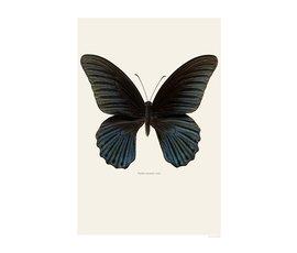 Liljebergs Liljebergs Papilio Memnon Male