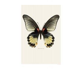 Liljebergs Liljebergs Papilio Memnon Female