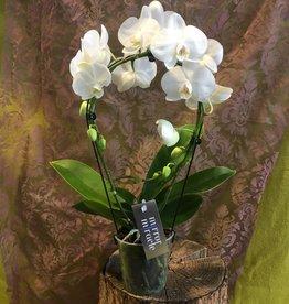 Phalaenopsis Spiegelbogen weiß
