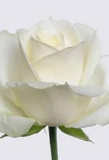 "Premium Rose weiß "" Avalanche+"" 60 cm"