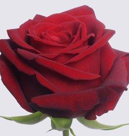 """Premium Rose rot """" Red Naomi """" 70 cm"""