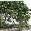 Arc en Sels Biologische Calophyllumolie (Tamanu) zonder parfum