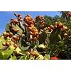 Arc en Sels Biologisch Serum van Argan- en Cactusvijgolie zonder parfum