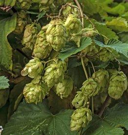 Hopbloemen, gedroogd 50 gram