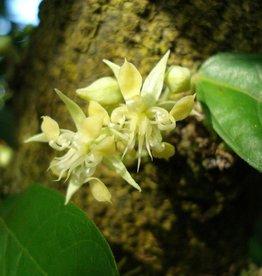 Farfalla Cacao extract (Kakao extract) BIO