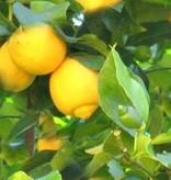 Farfalla Biologische citroen etherische olie 10 ml