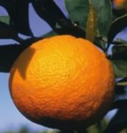Farfalla Bloed sinaasappel (Blutorange) BIO demeter 10 ml.