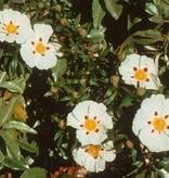 Farfalla Gecertificeerde biologische cisteroos (zonneroosje) etherische olie